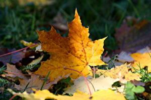 Картинка Осень Крупным планом Листья Клён Трава Природа