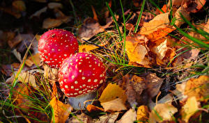 Фотография Осень Крупным планом Грибы природа Мухомор Листья Трава