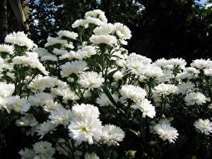 Картинка Астры Много Белый Цветы