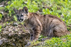 Обои Пумы Большие кошки Детеныши Трава