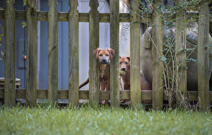 Обои Собаки 2 Ограда Траве Животные