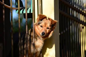 Картинка Собака Забор Взгляд животное