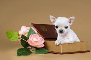 Картинки Собака Розы Щенки Чихуахуа животное