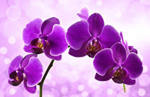 Обои Орхидея Вблизи Фиолетовая цветок