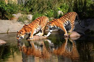 Фото Тигры Вода Камень Большие кошки Две Пьет воду животное
