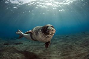 Картинки Морские котики Подводный мир Лучи света Monachus monachus, Monk Seal,  Ilhas Desertas, Desertas Islands