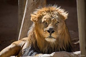 Обои Львы Большие кошки Морда Взгляд Животные фото