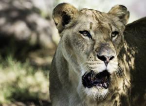 Обои Львы Большие кошки Взгляд Животные фото