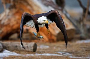 Картинки Птицы Орел Ястреб Белоголовый орлан Полет