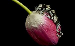Картинки Тюльпаны Лягушка Крупным планом Двое Капля amazon milk frogs, ampgibians животное Цветы
