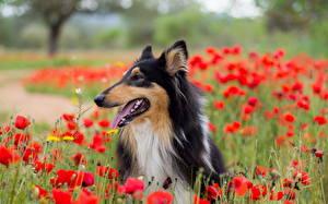 Картинка Собака Маки Колли животное Цветы