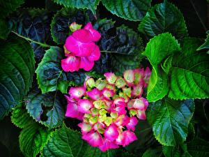 Фотография Гортензия Вблизи Розовый Листья Цветы