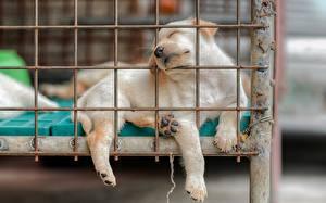 Обои Собака Щенков Лапы Спящий Ретривер Животные
