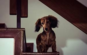 Обои Собаки Такса Лестница Miniature Long-Haired Dachshund