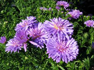 Фотографии Астры Крупным планом Фиолетовая Цветы