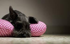 Фотографии Собака Спит Черные Ризеншнауцер животное