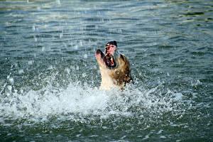 Фотографии Собаки Вода Брызги Амстафф Животные