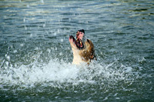 Фотографии Собаки Вода Брызги Амстафф