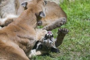 Фотографии Пума Детеныши Большие кошки Трава