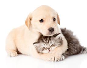 Картинка Собака Коты Щенков Котята Ретривер Спящий 2 Животные