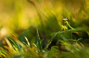 Фотографии Богомол Крупным планом Насекомые Траве