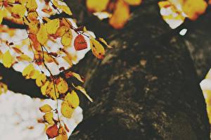 Обои Осень Деревья Листья Ствол дерева Вид снизу Природа фото