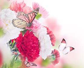 Картинка Бабочка Гвоздики Крупным планом животное Цветы