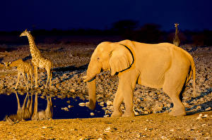 Фотография Слоны Жирафы Африка Etosha National Park Republic of Namibia Southern животное