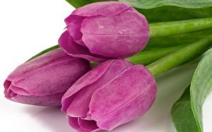 Картинки Тюльпаны Крупным планом Фиолетовые Цветы