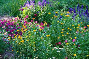 Картинка Сады Петунья Календула Много Цветы