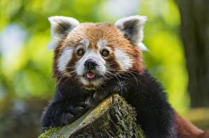 Фотографии Бамбуковый медведь Малая панда Взгляд ©Tambako The Jaguar животное