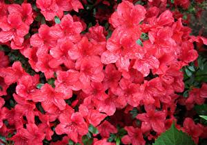 Картинки Рододендрон Крупным планом Розовых Цветы
