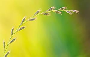 Картинки Крупным планом Колосья Траве Природа