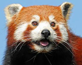 Фотография Панды Малая панда Усы Вибриссы Морда Смотрят