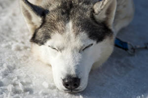 Фото Собаки Хаски Спит Морда Аляскинский маламут животное