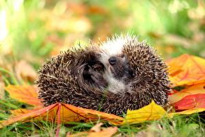 Обои Ежики Осенние Листья Траве Животные