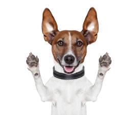 Картинка Собаки Джек-рассел-терьер Смотрит Лапы Смешная Животные