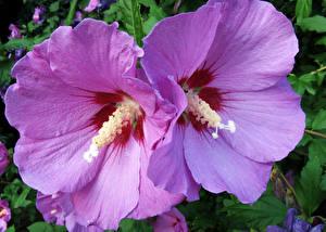 Фотография Гибискусы Крупным планом 2 Розовый Цветы