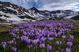 Картинка Болгария Парки Луга Крокусы Горы Пейзаж Rila National Park Rila Mountains Природа Цветы