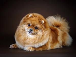 Фотографии Собака Шпиц Смотрят Рыжий Животные