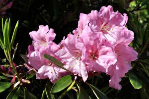 Фотография Рододендрон Крупным планом Розовый Цветы