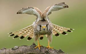 Фотографии Ястреб Птицы