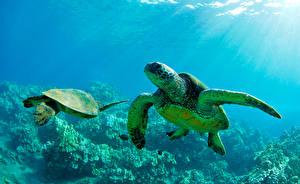Фотографии Подводный мир Черепахи Лучи света Вдвоем животное