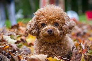 Фото Осень Собаки Пудель Щенок Взгляд Листва
