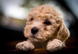 Фото Собаки Пудель Щенок Смотрит Лапы