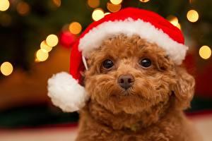 Картинки Собаки Рождество Пудель Смотрит Шапки Щенок Животные