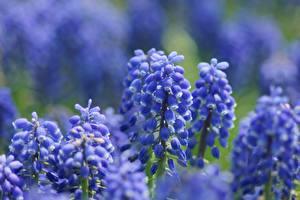 Фотографии Синий Muscari Цветы