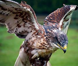 Фотографии Ястреб Птицы Клюв Крылья