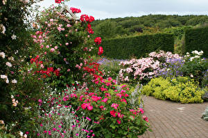 Картинка Англия Сады Розы Кусты Rosemoor Rose Garden Природа Цветы
