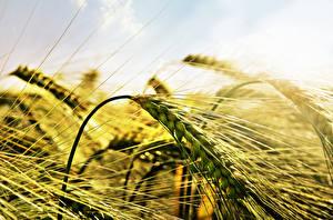 Картинка Вблизи Поля Пшеница Колосья Wheat Природа